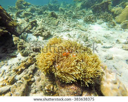 Nemo fish live in host anemone - stock photo