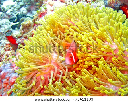 nemone fish with anemone - stock photo