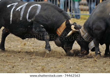 NENDAZ, SWITZERLAND - MARCH 27: 1st place Tundra (110) clashes heads with a competitor in the Nendaz Combat des Reines cow fighting championship. March 27, 2010 in Nendaz, Switzerland. - stock photo