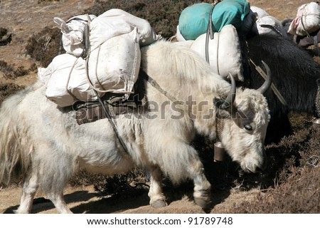 Nepalese yak carrying load to villages on high altitudes - stock photo