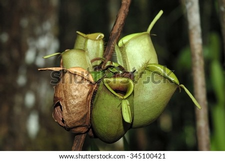 Nepenthes, also known as tropical pitcher plants, is a genus of carnivorous plants in the monotypic family Nepenthaceae - stock photo