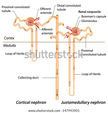 Human nephron diagram human nephron diagram photo25 ccuart Image collections
