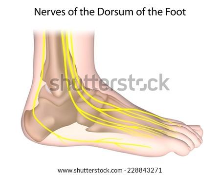 Nerves Foot Unlabeled Stock Illustration 228843271 Shutterstock