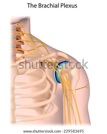 Nerves of the brachial plexus unlabeled. - stock photo