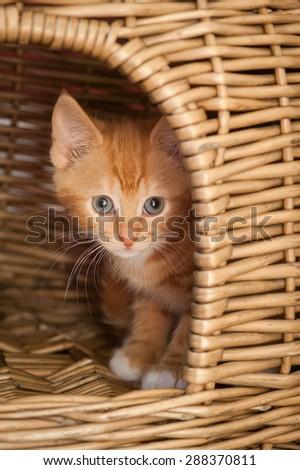 nervous ginger kitten hiding on a wicker basket - stock photo