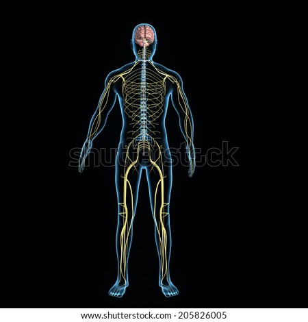 Human nervous system on display - photo#21