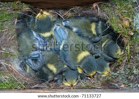 nest box full of chicks (Parus caeruleus) - stock photo