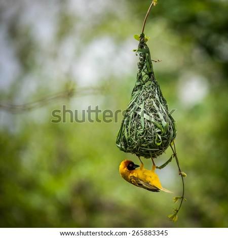 Nest-building - stock photo