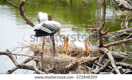 Nest colonial Of Painted Stork (Mycteria leucocephala) in nature. - stock photo