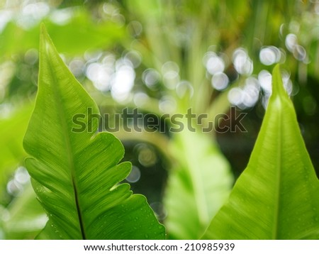 nest fern close up on leaf details