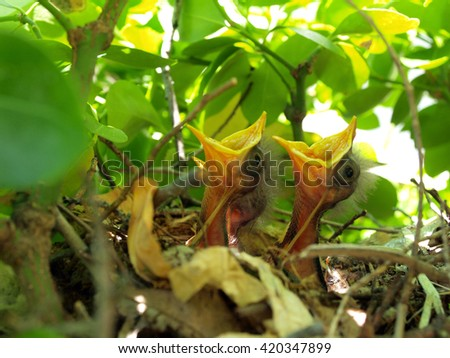 nest full of hungry baby Mockingbirds that are ready to eat - stock photo