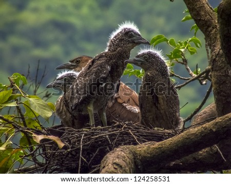 Nest of a Malay Night Heron - stock photo