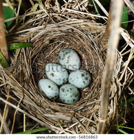 Nest of a Marsh Warbler (Acrocephalus palustris) with eggs in the nature.