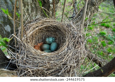 Nest of forest blackbird with green eggs in early spring forest - stock photo