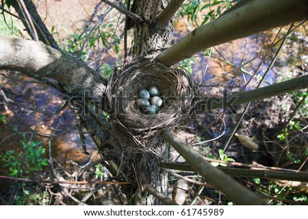 Nest of the fieldfare (Turdus pilaris) with five green eggs. - stock photo