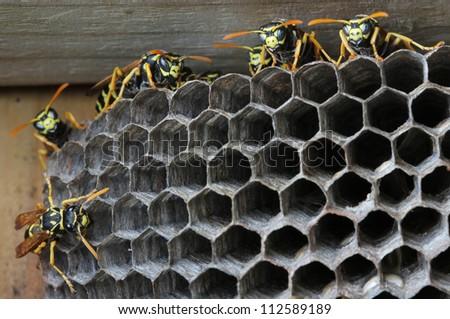 Nest of wasps - stock photo