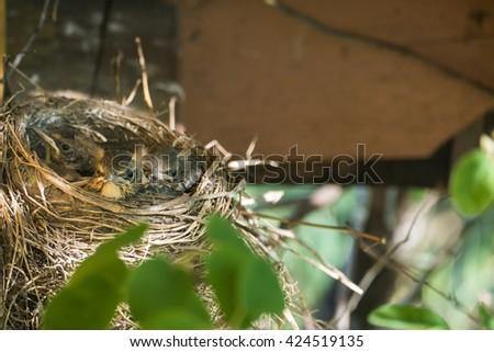 Nest with chicks blackbird - stock photo
