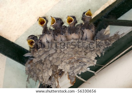 Nest with five young swallow - stock photo