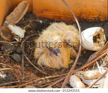 Nest with two juvenile common wood pigeons in orange flowerpot. - stock photo