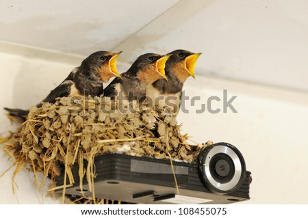 Nest with young swallows - stock photo