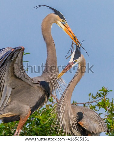 Nesting Great Blue Herons building a new home - stock photo