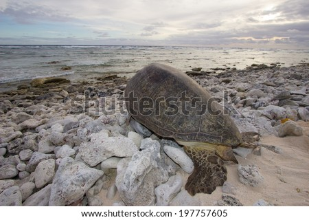 Nesting green sea turtle makes its way back to the ocean after laying its eggs on an outer island of Ulithi Atoll, Yap State, Micronesia, the world's largest green sea turtle nesting sight, May of 14. - stock photo