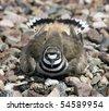 nesting killdeer ( chardrius vocierus) takes a defensive posture - stock photo