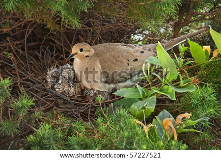 Nesting Mourning Dove bird with squabs - stock photo
