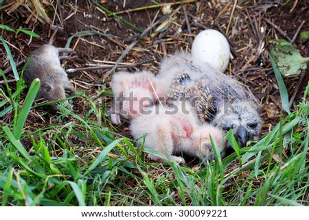 Nestling of short-eared owl (Asio flammeus) in the nest with prey - stock photo