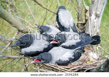 Nestling of the crow in the nest 2 - stock photo