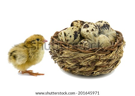 Nestling quail and wooden basket with quail eggs isolated on white - stock photo