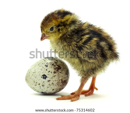 Nestling quail is waiting for his sibling - stock photo