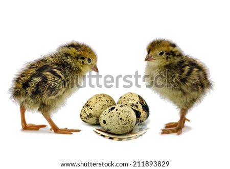 Nestling quail just after hatching - stock photo