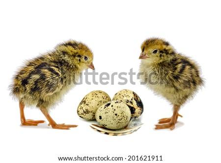 Nestling quails and eggs isolated on white - stock photo