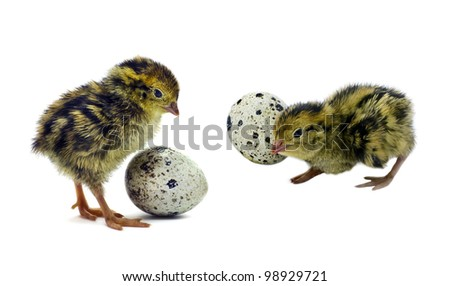 Nestling quails are waiting for siblings - stock photo