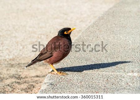 Nestling starling - stock photo