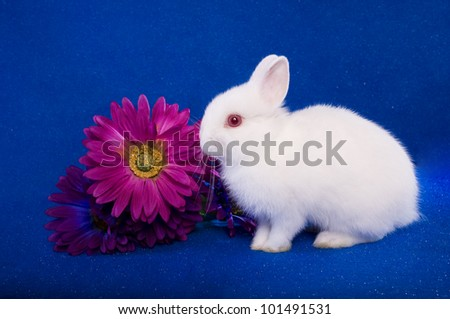 Netherland Dwarf bunny rabbit on blue background with pink Gerber daisy - stock photo