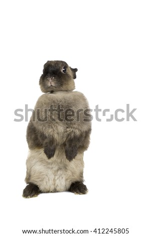 Netherlands Dwarf rabbit stands up on its two legs on white background - stock photo