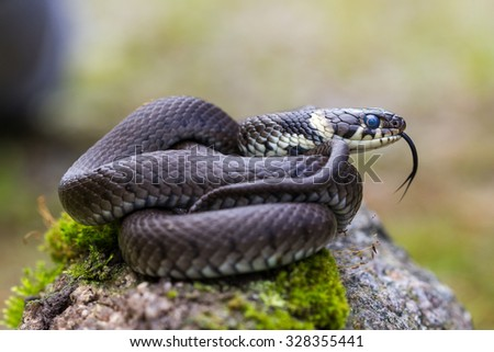 Netrix or colubrid snake - stock photo
