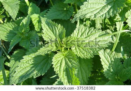 Nettle - stock photo