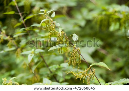 Nettle blooming in the forest