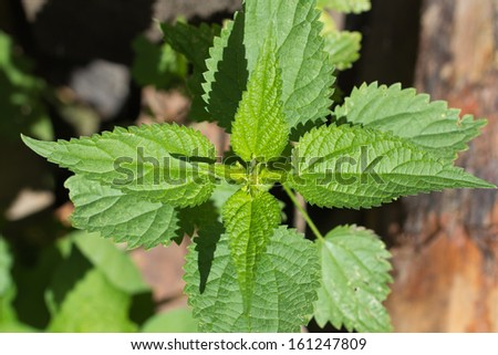 nettle in nature - stock photo