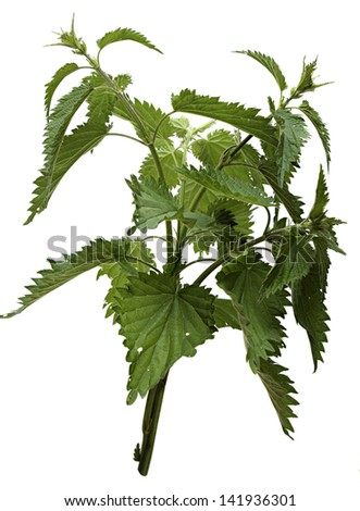 Nettle isolated on a white background. - stock photo