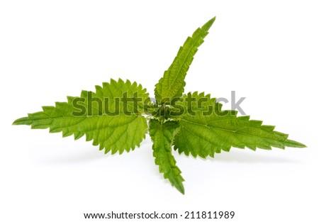 Nettle isolated on white background - stock photo