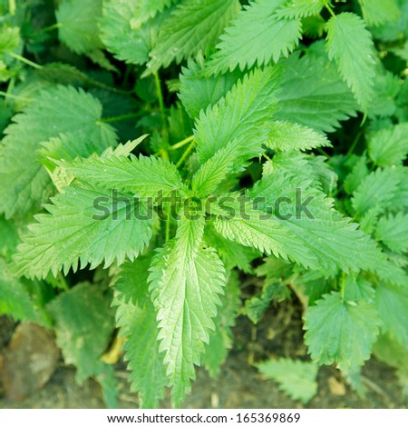 nettle leaves in nature - stock photo