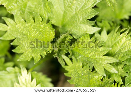 nettle leaves in nature. close-up - stock photo