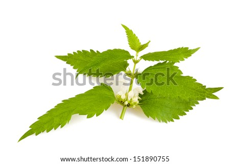 Nettles with flowers isolated on white - stock photo