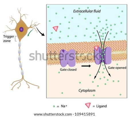 Neuron and local potential triggered by chemical signal - stock photo