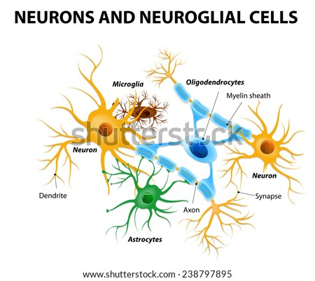 Neurons and neuroglial cells. Glial cells are non-neuronal cells in brain. There are different types of glial cells: oligodendrocyte, microglia, astrocytes and Schwann cells - stock photo
