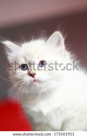 neva masquerade kitten of cat, siberian breed at one month